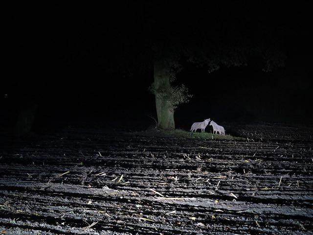 wolven in donker